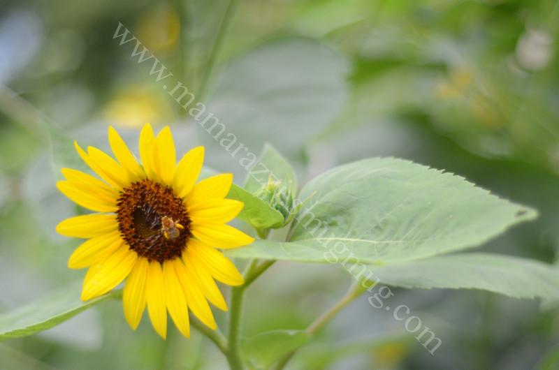 Sunflower Image ID # 0179