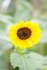 Sunflower Image ID # 0170