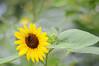 Sunflower - Real Photo