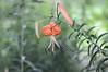 Tiger Lily Image ID # 0155