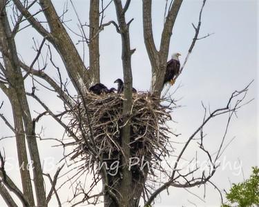 New Nest, N3.  Mom Decorah, DN37, DN38 & DN39. May 17, 2021