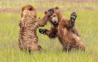 Bear Cub Battle