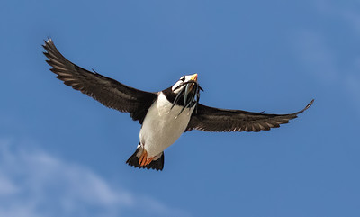 Horned Puffin with Sand Eels