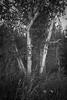 birches-1420