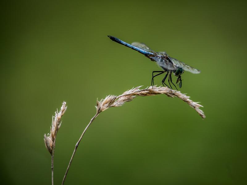 dragonfly-8523