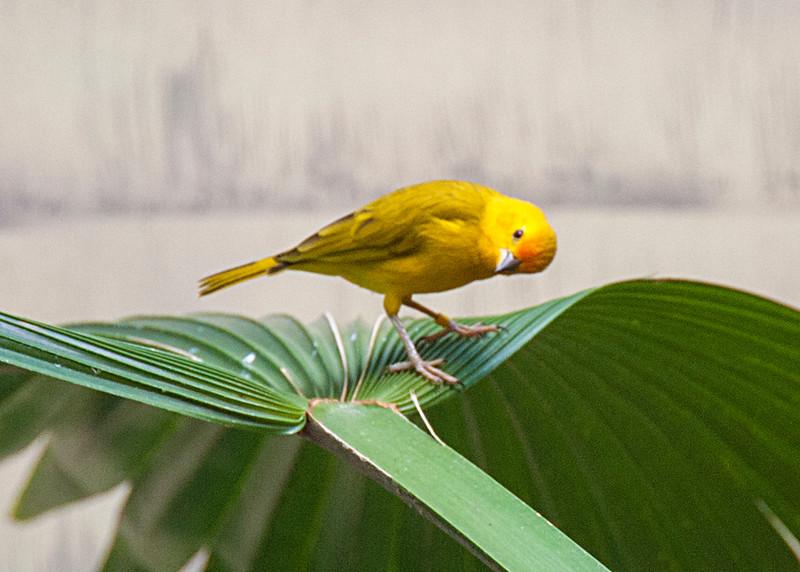 yellowbird1931