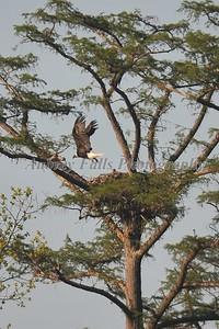 Guy's Eagle 377B