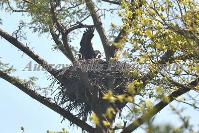 Guy's Eagle 434B