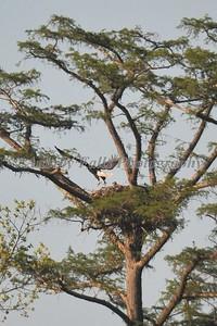 Guy's Eagle 376B