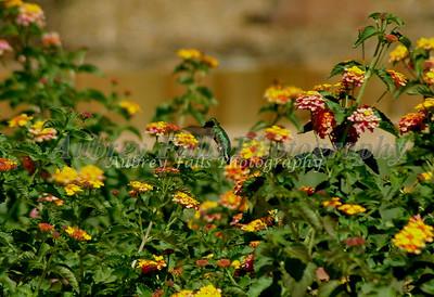 Hummingbird Trans