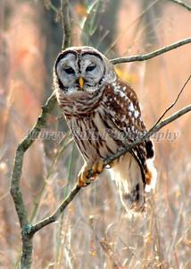 Jim's Owl 016B