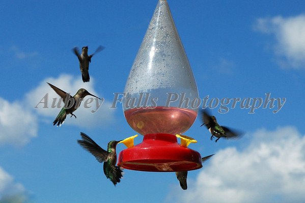 Hummingbirds Best