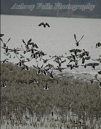 Flushing Ducks