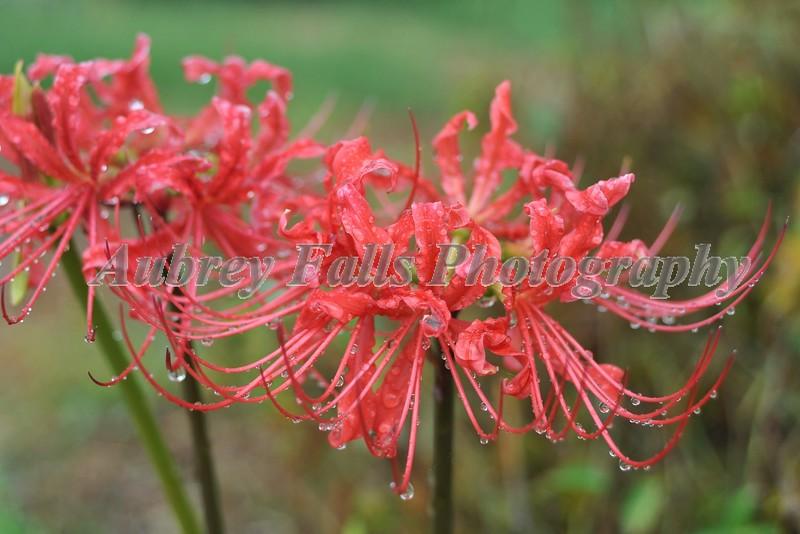Spider Lillies 013B