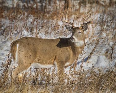 Whitetail Winter
