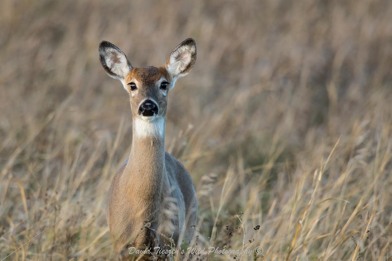 Mychelle's Deer