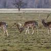 Fallow Deer - Dådyr