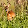 Roe Deer - Rådyr