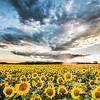 Deer Park Sunflowers