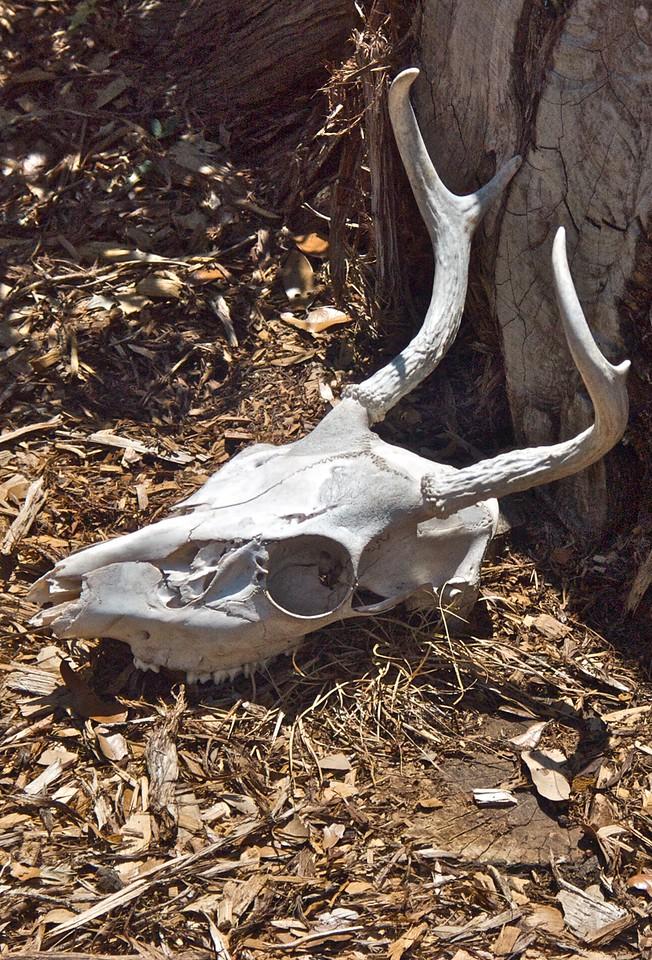 Deer Skull (The Photo)