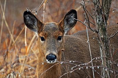 Deer and Diamonds