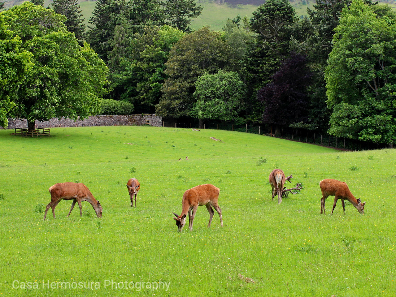 Red Deer; Blair Castle, Scotland