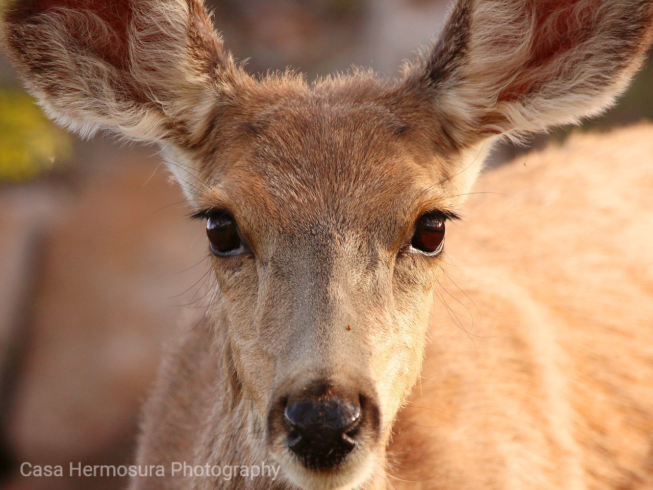 Mule Deer Doe; Jemez Mountains, New Mexico