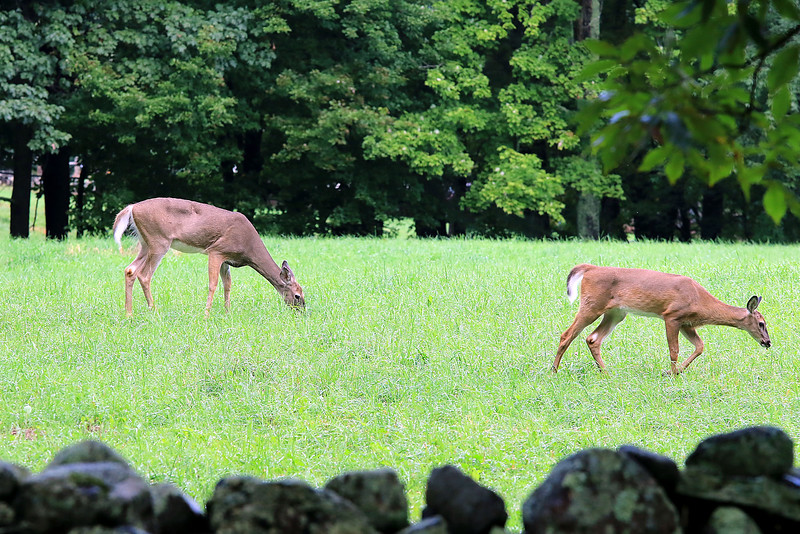 A doe and her two fawns where getting some lunch in a field of of Flat Hill Road in Lunenburg on Wednesday around noon time. this is mom with just one of the fawns. SENTINEL & ENTERPRISE/JOHN LOVE