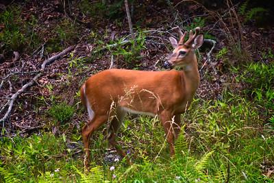 Deer on East Fork Road