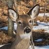 deer         1211