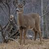deer 1510