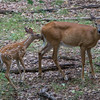 deer and fawn        111