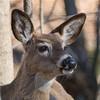 deer     1610