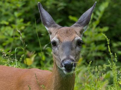 deer      sm       6