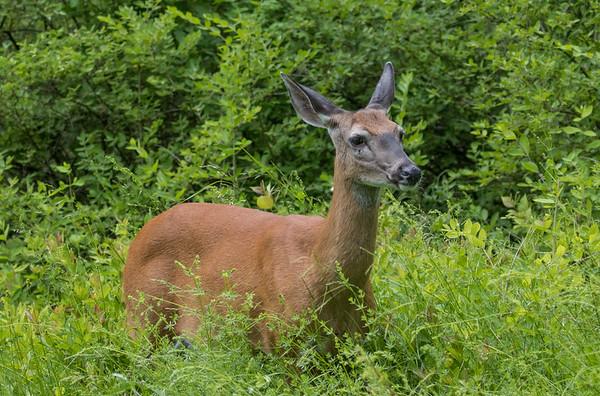 deer     sm        9