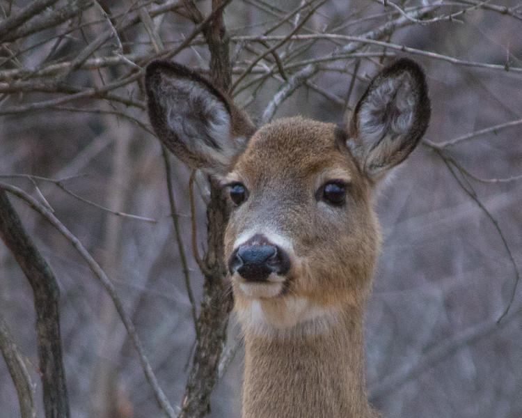 deer                      1910