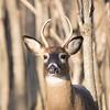 deer         1311