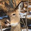 deer         1411