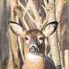 deer         1611