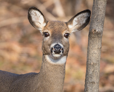 Deer (white-tailed)