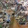 deer a11