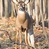 deer         1711