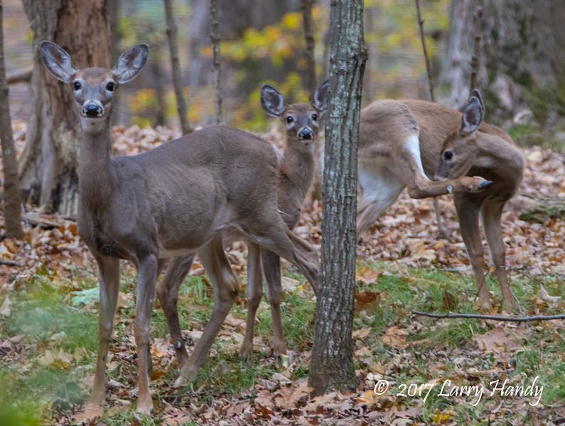 deer  fb    4