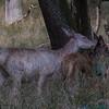 Red Deer - Krondyr