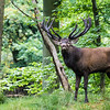 Red Deer - Krondyr