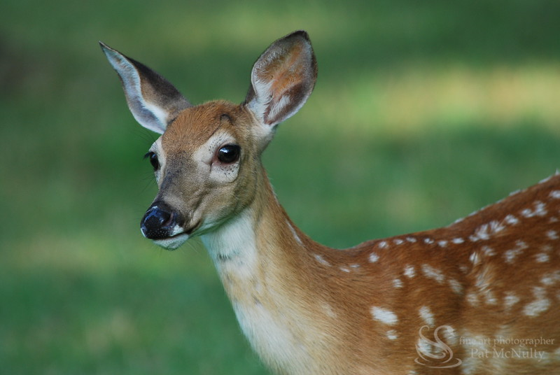 Fawn Close Up Picture