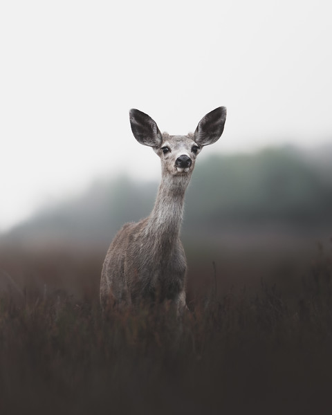 Young Fawn Portrait
