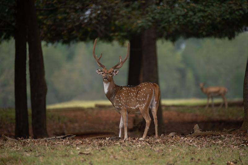 Sika Deer - Buck II