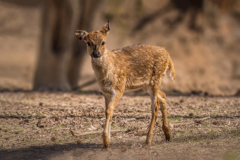 Sika Deer - Fawn