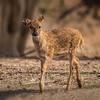 Sitka Deer - Fawn